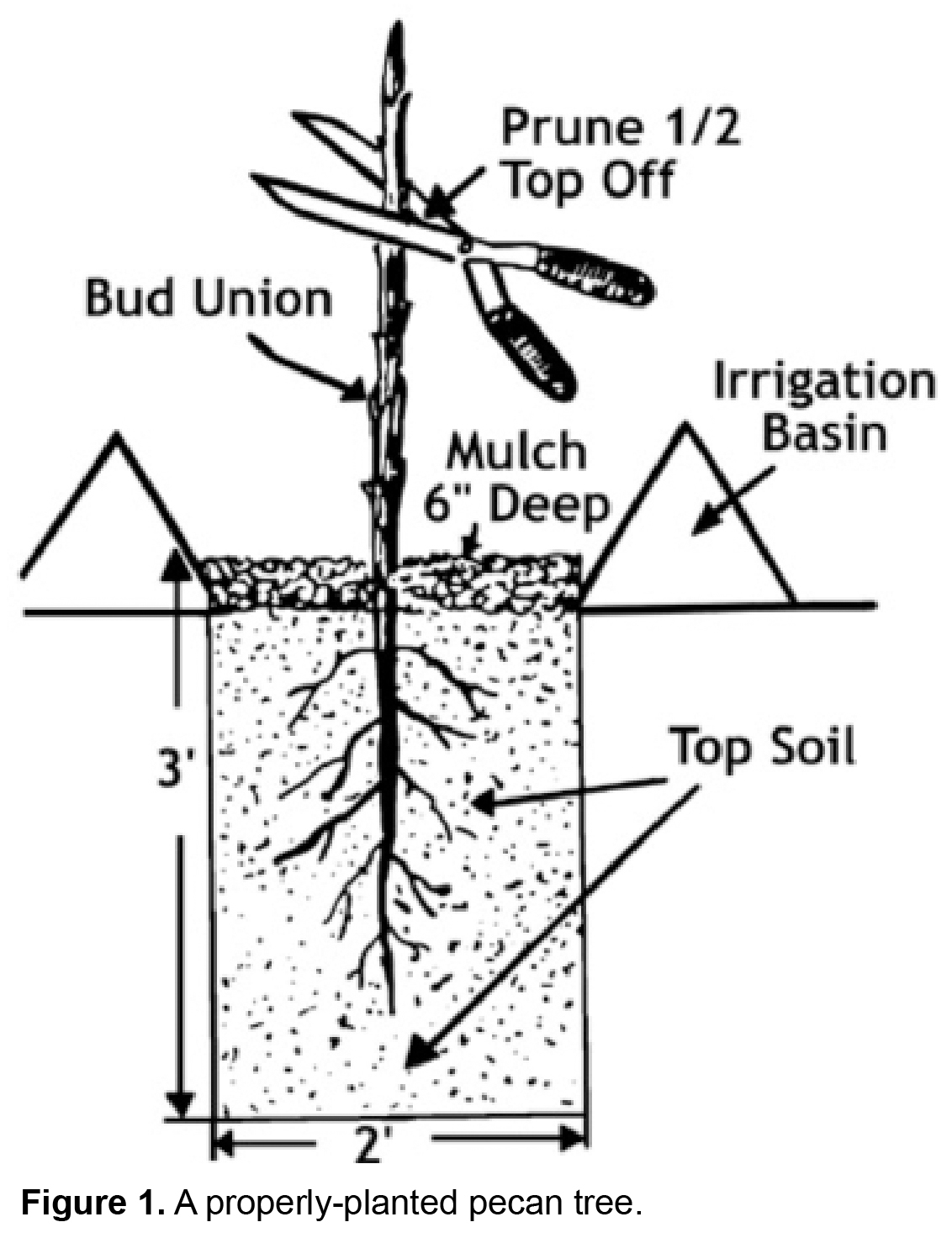 Pecan Tree Grow Guide