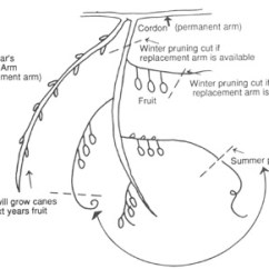Diagram The Parts Of Cherry Blossom Tree Siemens Eq Load Center Wiring Minor Fruits And Nuts In Georgia Uga Cooperative Extension Figure 2 Pruning Kiwifruit Fruiting Arms