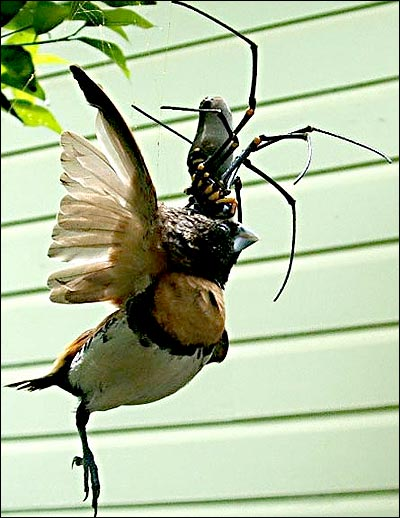 Giant spider eating a bird caught on camera  Telegraph