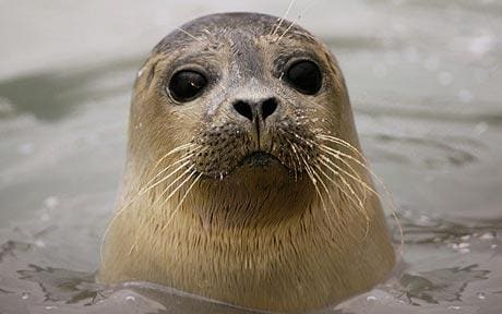 seals can detect underwater