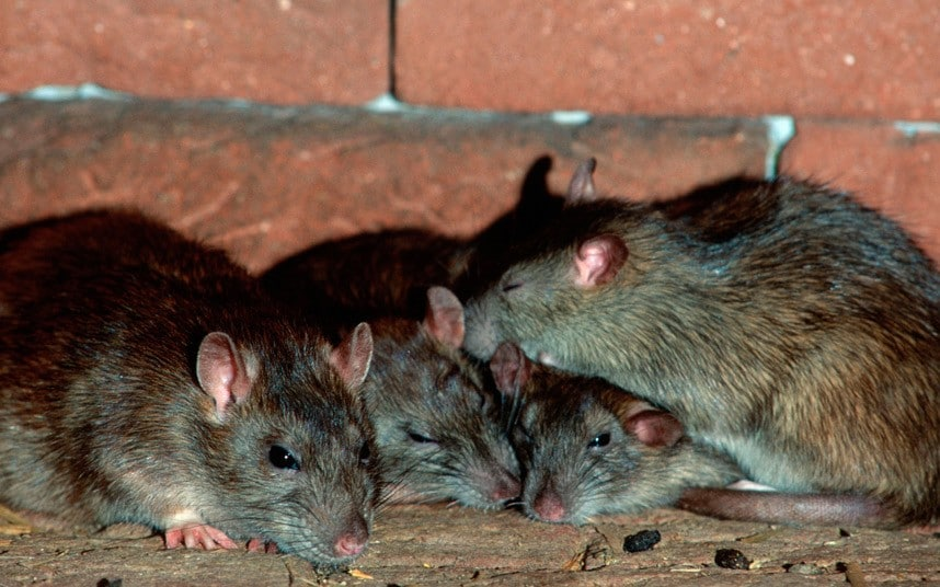 Haemorrhagic fever carried by UK rats: scientists - Telegraph