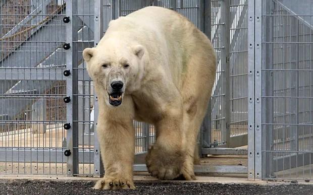 Englands Only Captive Polar Bear Arrives Telegraph