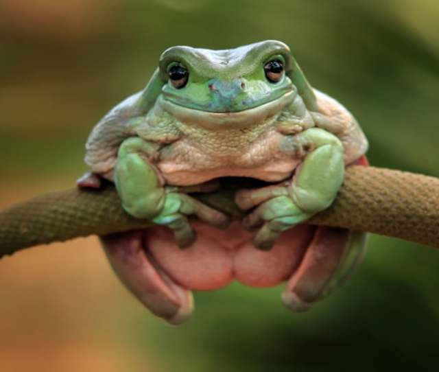 An Aptly Named Dumpy Tree Frog Clings Onto A Branch As It Attempts To Get