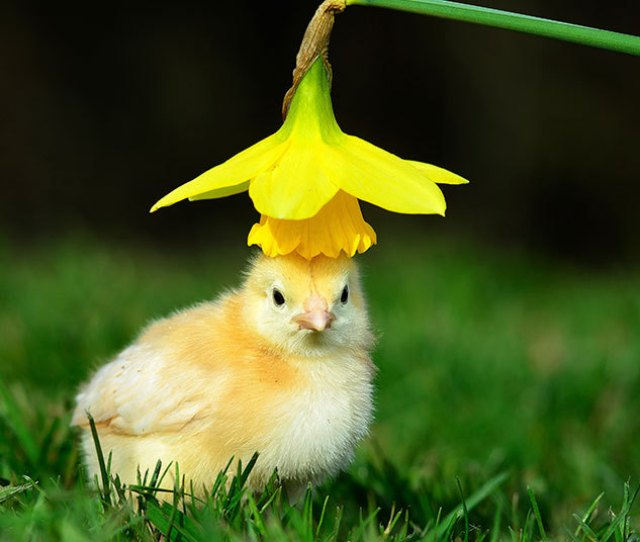 Easter Bonnet An Adventure Into The Outdoors For This Newly Hatched Chick At West