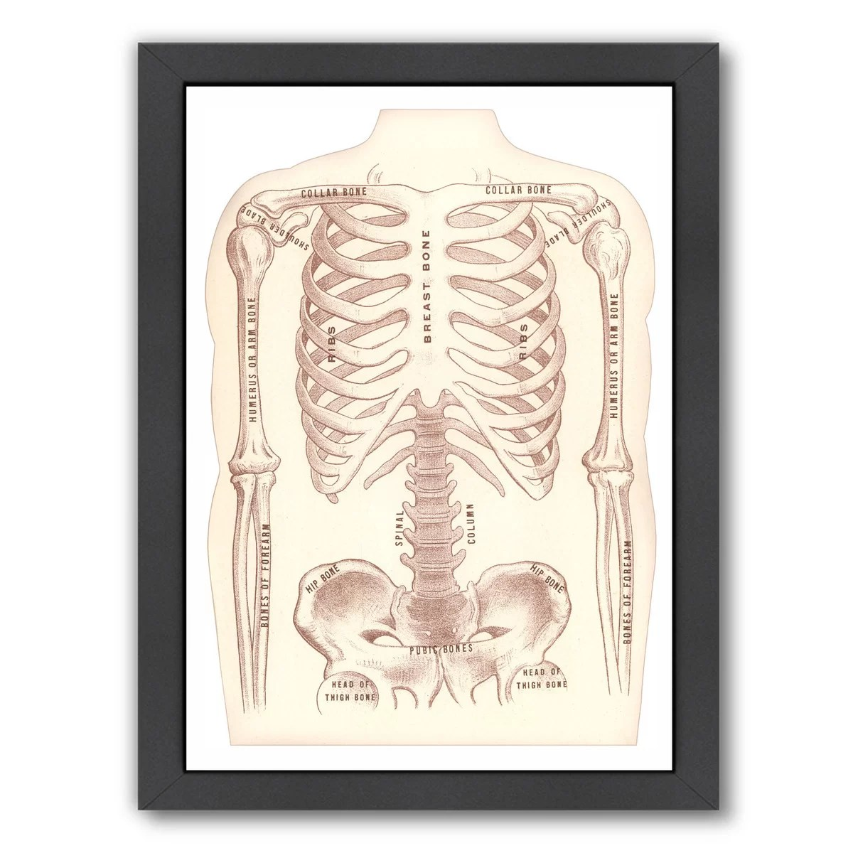 hight resolution of east urban home bones of the torso and arms graphic art print wayfair
