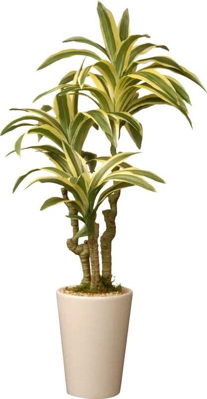 Mistana Dracaena Palm Plant in Pot  Reviews  Wayfairca
