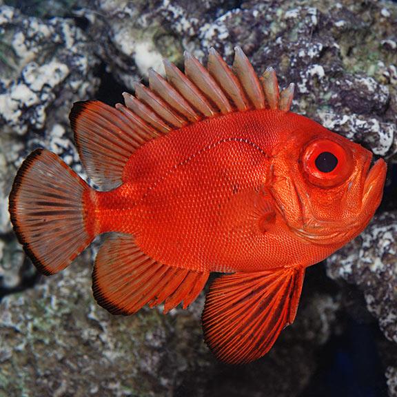 popeye catalufa soldierfish