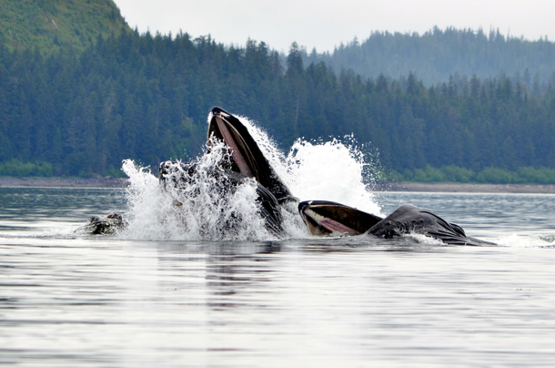 Exploring Alaska's Icy Strait Point with Disney Cruise Line: Wildlife Adventures