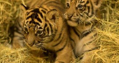 Sumatran tiger cubs at one month old
