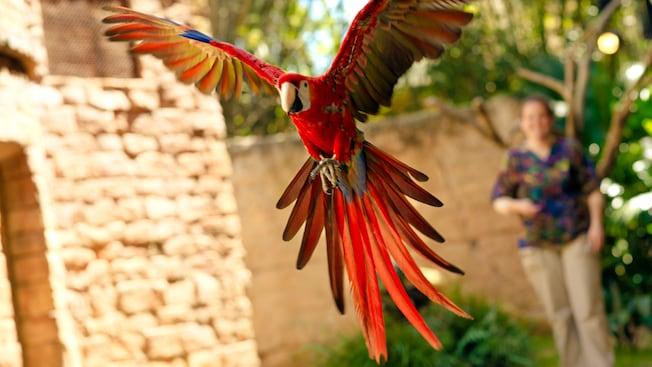 A macaw prepares to land at Flights of Wonder at Disney's Animal