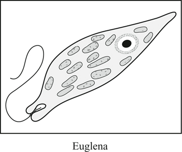 euglena cell diagram with labels ford f250 7 pin trailer wiring microbe pre test survey the picture below shows a