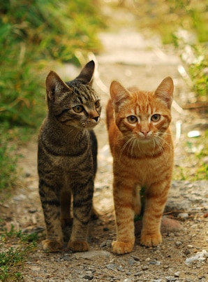 tabby cat facts and
