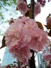angela-carson-beijing-blog-spring-flowers-in-bloom-2