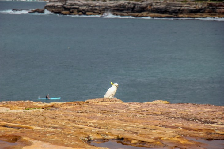 Sulphur-crested cockatoo sits on cliffs above kayaker at Coogee Beach, Australia