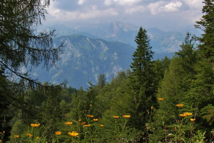 Yellow Flowers and mountain views from Vogel Ski Center hiking trails near Lake Bohinj, Slovenia