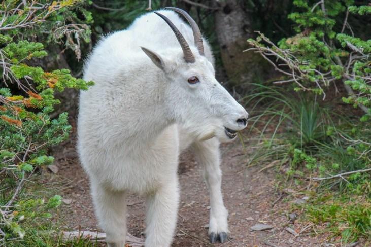 White Mountain Goat at Glacier National Park, Montana
