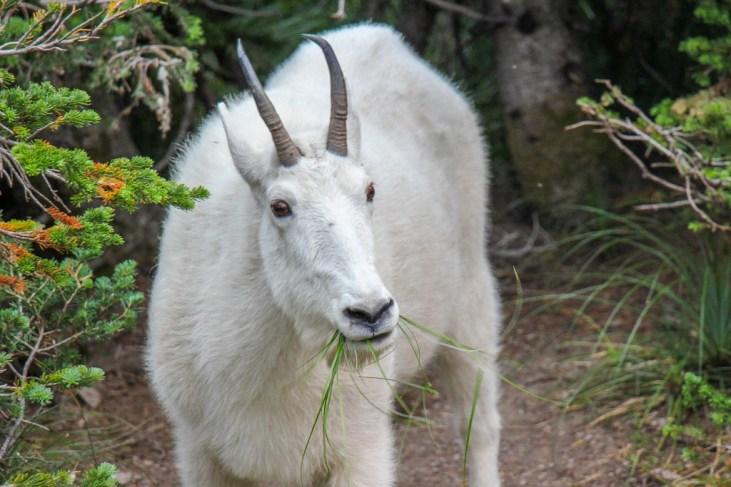 Mountain Goat Eating Grass, Glacier National Park, Montana