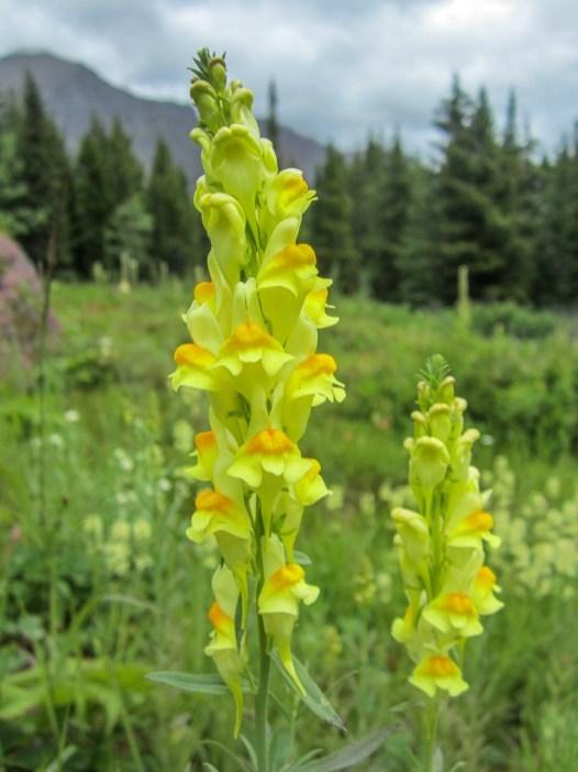 Bright Flowers along Red Rock Falls Hike, Glacier National Park, Montana