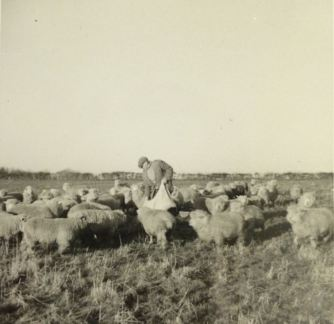 Grandfather feeding his flock of Southdowns