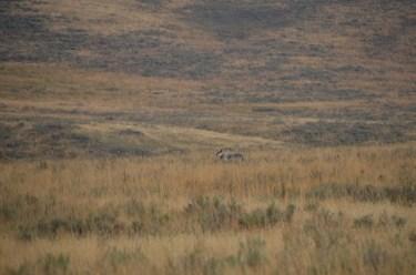 Wolf in Hayden valley