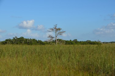 This land is a little higher and so a little dryer. One big cypress stands alone.