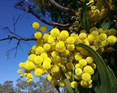 wattle-blossoms-2642539