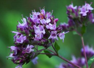 Origanum vulgare Inflorescence: Photo Credit, Fotolia