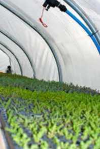 Sedum Plug plants growing ready for Green Roofs