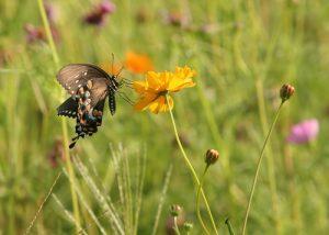 Butterfly on the Sedum Fields at Lower Leigh Farm Sedum Green Roof