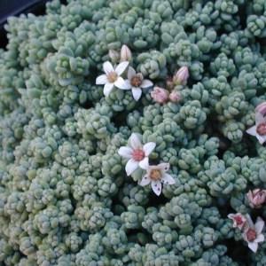 Corsican stonecrop - Plants