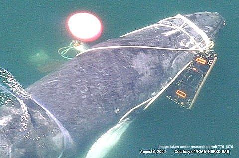 GSeverely entangled humpback NOAA