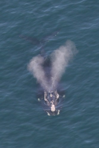 right_whale_v-blow NOAA