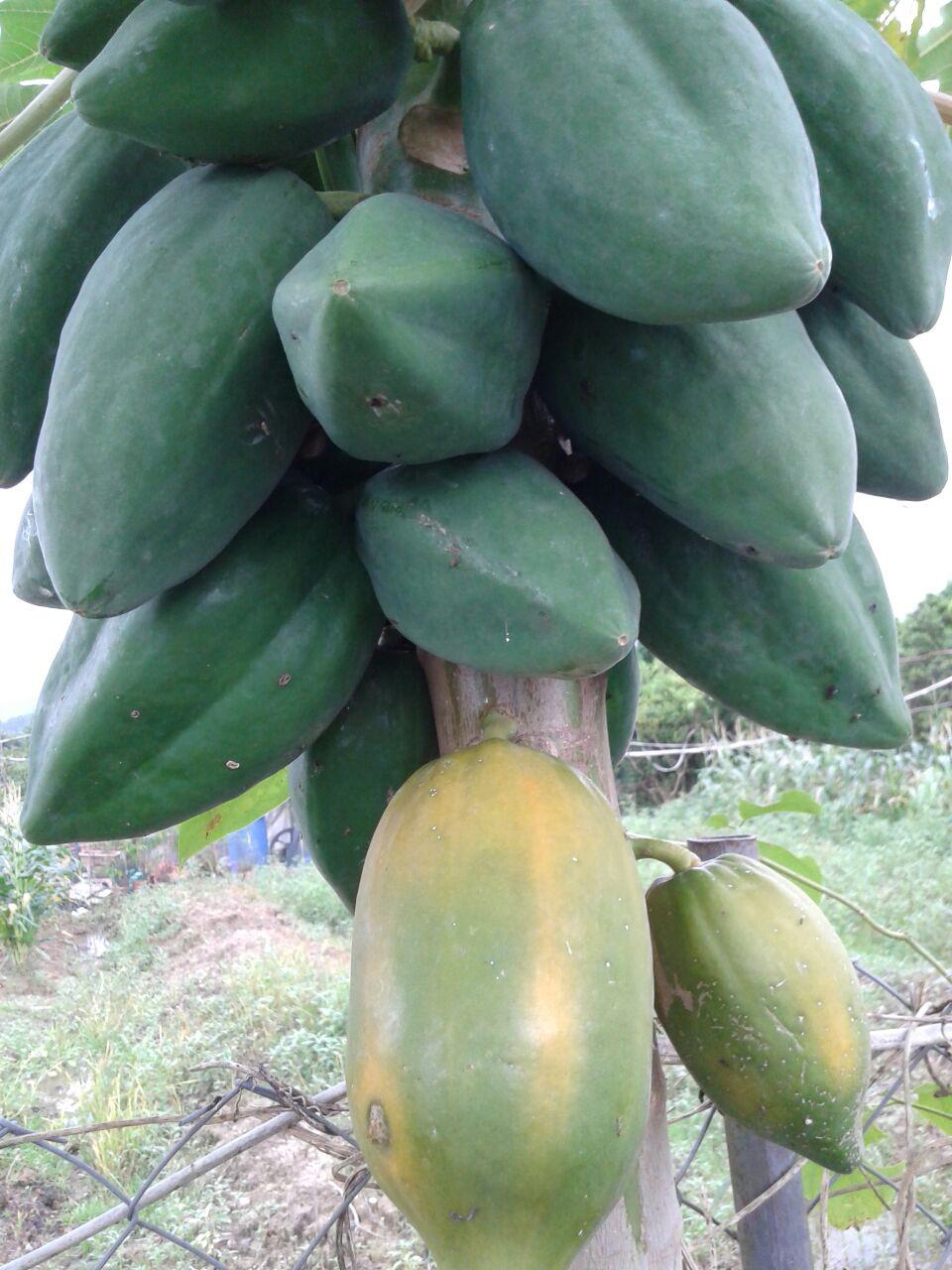 木瓜 Papaya | 香港有機生活發展基金