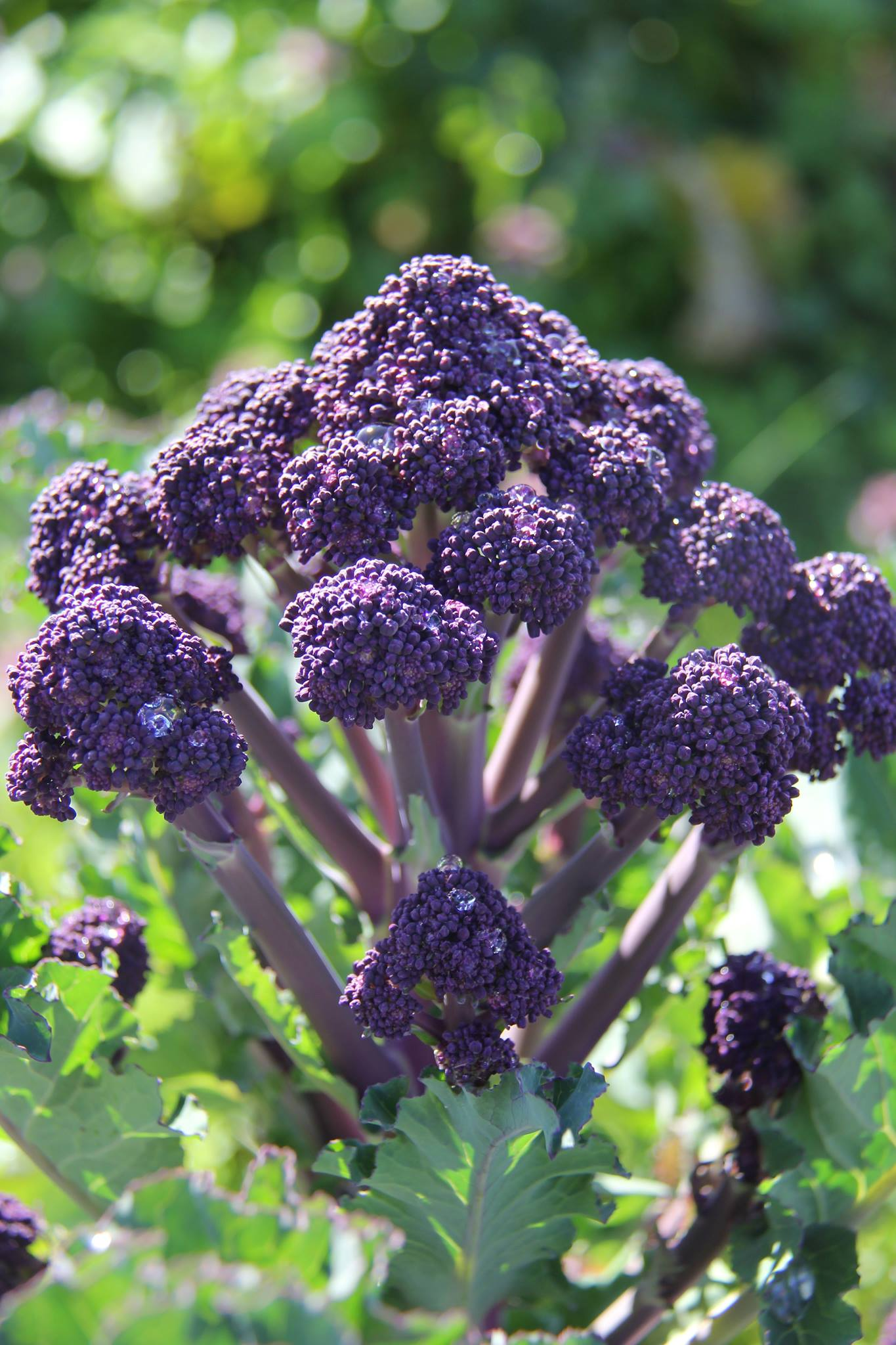 Seattle Restaurants To Highlight Purple Sprouting Broccoli