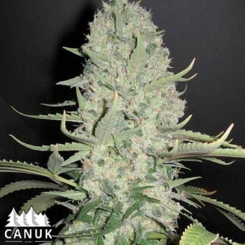 Critical Widow Feminized Seeds (Canuk Seeds)