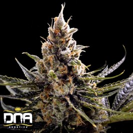 24K Gold FEMINIZED Seeds (DNA Genetics)
