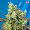 Do-Sweet-Dos Feminized Seeds (Sweet Seeds)
