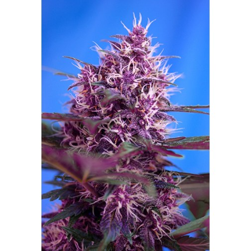 Red Poison Auto Feminized Seeds (Sweet Seeds)