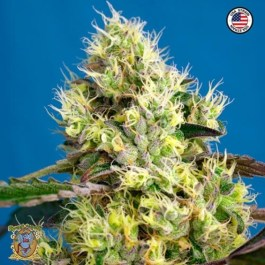 Sweet Gelato Auto Feminized Seeds (Sweet Seeds)