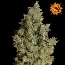 Tangerine Dream Feminized Seeds (Barney's Farm)