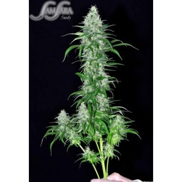 Sweet Black Angel FEMINIZED Seeds (Samsara Seeds)
