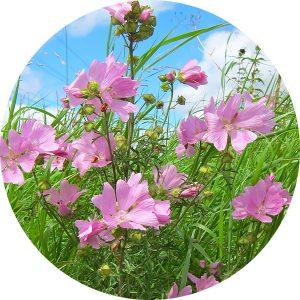 seedball flowers 0000s 0023 musk mallow