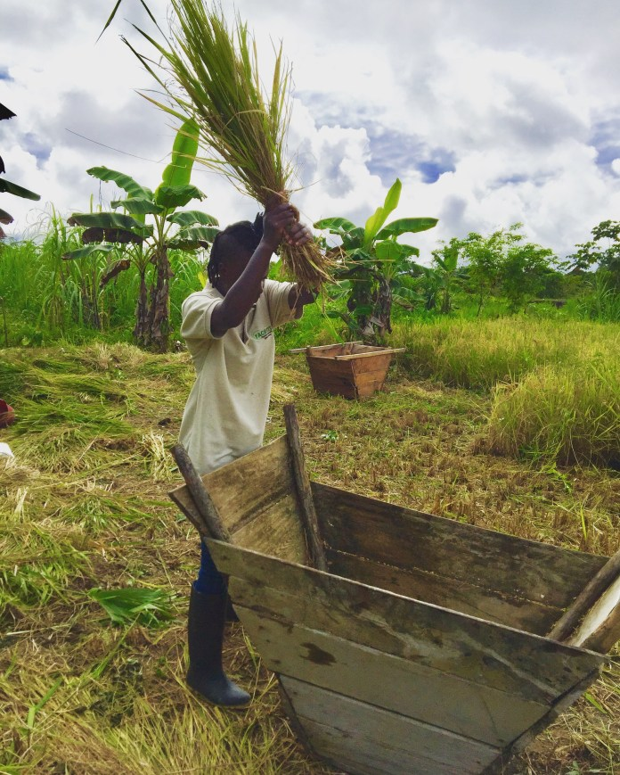 Author participating in harvesting rice at the Foundation's prototype farm in San Antonio, Chocó.