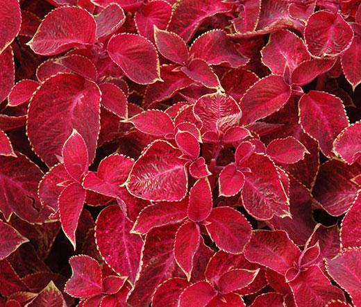Coleus Wizard Velvet Red Seeds Solenostemon Scutellarioides
