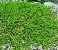 Green Carpet Rupturewort Seeds - Herniaria Glabra