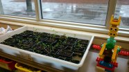 A well-protected tray of seedlings in a Kindergarten class.