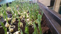After one week: pea shoots