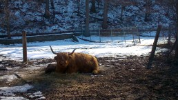 Visiting the Highland cattle in the High Park zoo.
