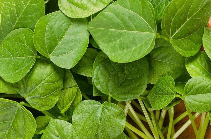 Adzuki Microgreen Seeds - Wholesome Supplies
