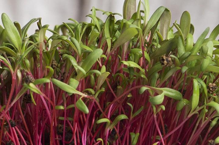 Beetroot Bull's Blood Microgreen Seeds - Wholesome Supplies